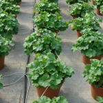 Large Pots of Zonal Geraniums
