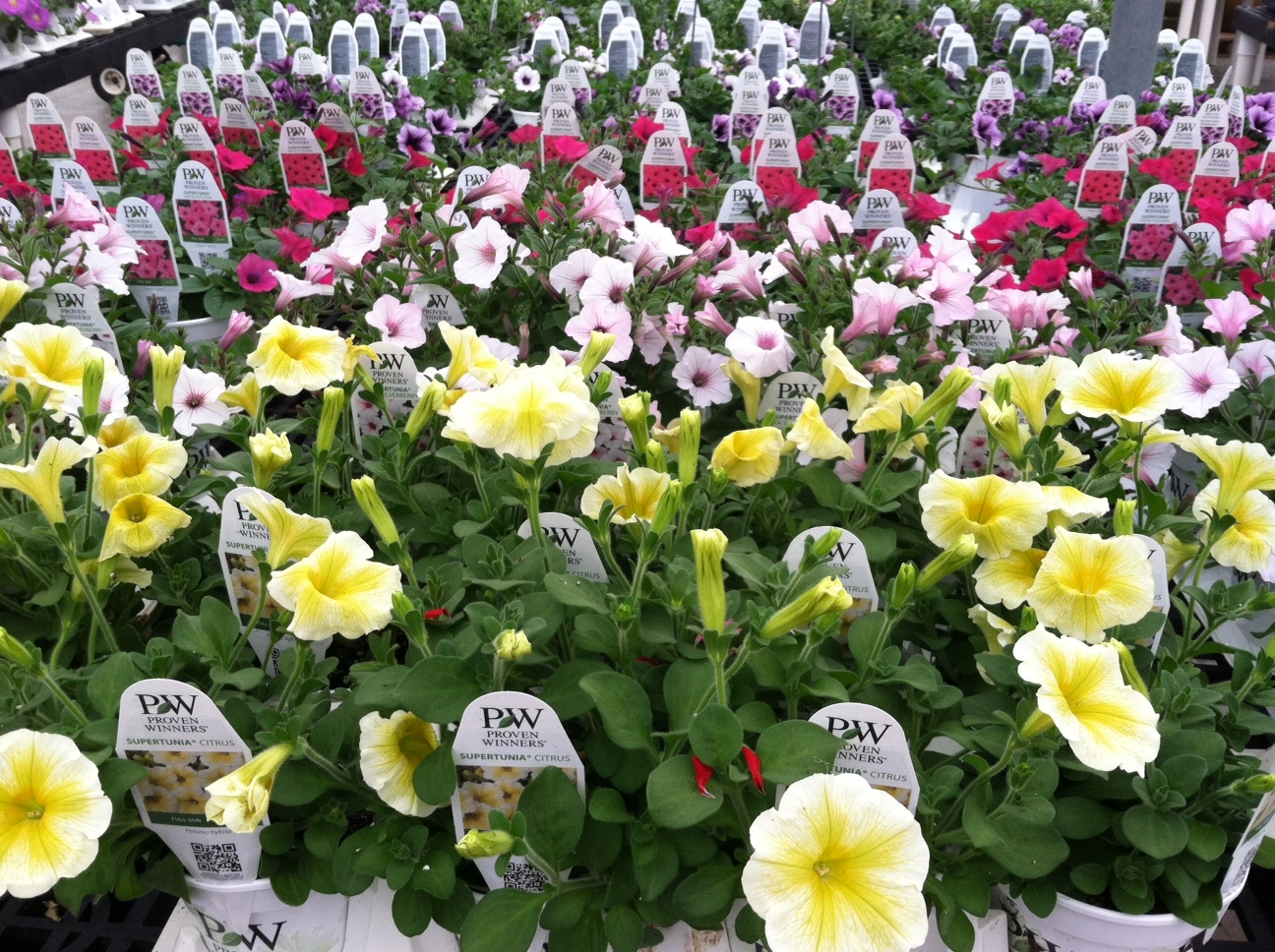 Our plants wentworth greenhouses perennials izmirmasajfo